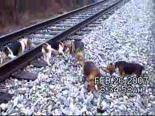 Köpeklerle Tavşan Avı
