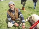 Köpekler, Koyun Ve Keçileri Parçaladı