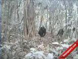 Bu Goril Türü İlk Kez Görüntülendi