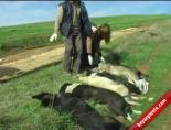 İstanbul'da Köpek Katliamı