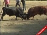 Artvin'de Boğa Güreşleri Festivali Yapıldı