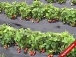 Mersin Silifke'de Çilek İhracatı Sürüyor