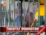 filipinler - Takıntılı Orangutan