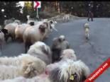 Binlerce Koyunun Çambaşı Yaylasına Yolculuğu Başladı