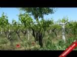 Asma Ağacında Üzüm Yerine Badem Çıktı