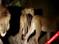 afrika - Kirpi 17 aslana böyle meydan okudu