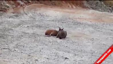 Vaşak dağ keçisini telef etti