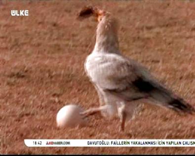 Mısır Akbabası Devekuşu Yumurtasını Taşla Kırıp Yedi