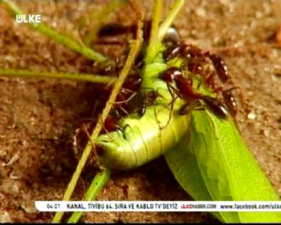 Karıncalar Çekirgeye Saldırıp Kaçmasın Diye Önce Bacaklarını Kopartıyorlar