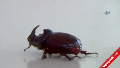 Dünyanın En Pahalı Böceği Misafirleri Oldu