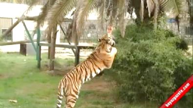 Hayvanat Bahçesindeki Kaplan, 6 Yaşındaki Çocuğa Saldırdı