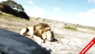 Aslanı öldürüp poz verirken şoku yaşadılar!