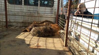 Gölete düşen çakallar için kurtarma operasyonu - BURSA