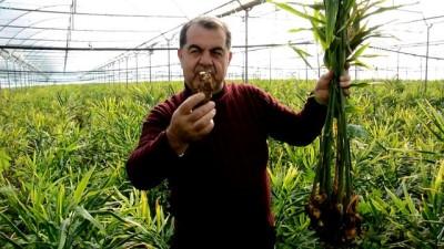 İlk kez üretilen zencefilde hasat dönemi - ANTALYA