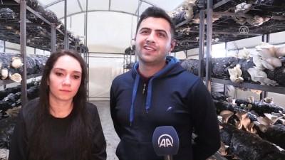 İstiridye mantarı için İstanbul'dan Ordu'ya döndüler - ORDU