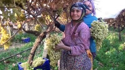 Kış mevsiminde üzüm hasadı - MANİSA