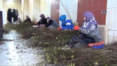 Türkiye'nin fidan çöğürünü İnegöl karşılıyor