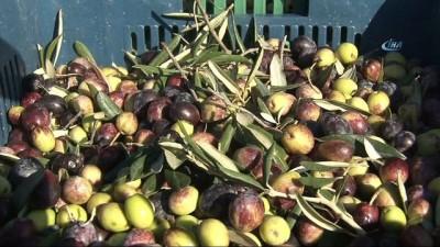 Binlerce yıllık taş baskı zeytinyağı geleneği