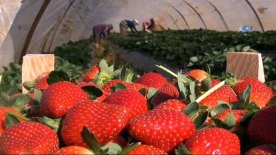 Antalya'da kış dönemi çilek hasadı başladı