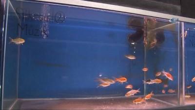 12 farklı müziğin balıklar üzerindeki etkisini araştırıyorlar