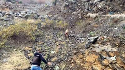 Artvin'de vatandaşların yaralı dağ keçisini kurtarma mücadelesi