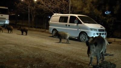 Tunceli'de yaban domuzları, şehre indi