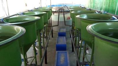 Deniz levreklerinin yemine makro ve mikroalg dopingi