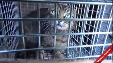 Vahşi yaban kedisini tuzakla yakaladı