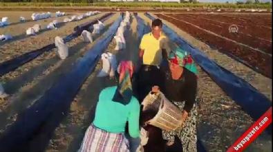 Manisalı çiftçinin 'üzüm nöbeti'