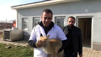 Tedavi edilen tilki doğaya salındı - MUŞ