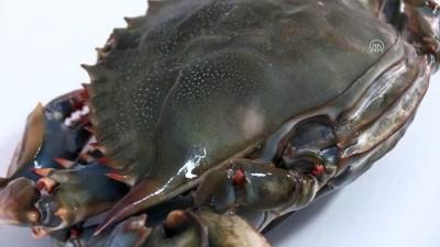 Akdeniz ve Ege'ye özgü balık türleri Karadeniz'de - ORDU