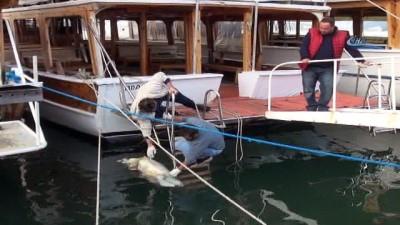 Fethiye'de caretta caretta kıyıya vurdu
