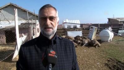 Konya'da başıboş köpekler 32 koyunu telef etti