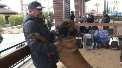 Köpekler, şampiyonluk için boy gösterdi