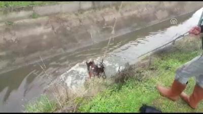 Sulama kanalına düşen atı itfaiye kurtardı - AYDIN