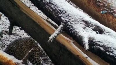- Putin'in leoparı ölü bulundu