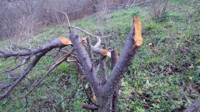 Bahçeden 80 ağacın kesildiği iddiası - KASTAMONU