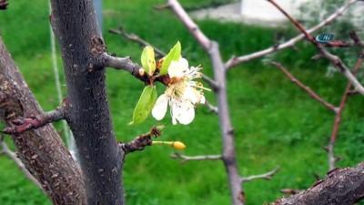 İklim değişikliği kendini gösterdi, Kocaeli'nde ağaçlar meyve verdi