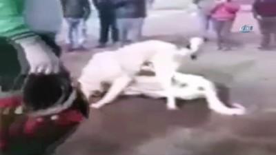 Köpekleri dövüştürüp çocuklara izlettirdiler