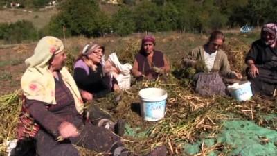 - Artvin'de imece usulüyle türküler eşliğinde kuru fasulye hasadı gerçekleştirildi