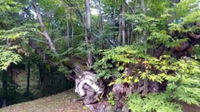 600 yıllık anıt ağacı köylünün geçim kaynağı olmaya devam ediyor
