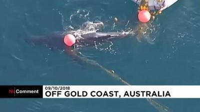 kopek - Avustralya'da köpek balığı ağına takılan balina yavrusu kurtarıldı