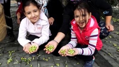 konferans -  Gömeç'te zeytin hasadı şenliği coşkusu
