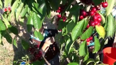 Doluya karşı dolu topu... Geliştirilen cihaz ile meyvelerini doludan koruyorlar