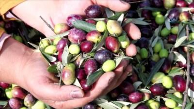 allah -  Ayvalık'ta zeytin üreticisinin hasat çalışmaları devam ediyor