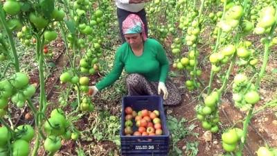 Mersin'de güz domatesi hasadı başladı