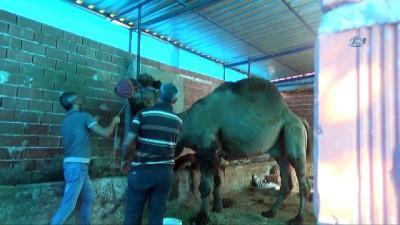 Sahibini öldüren katil deve kasaplara emanet edildi Haberi