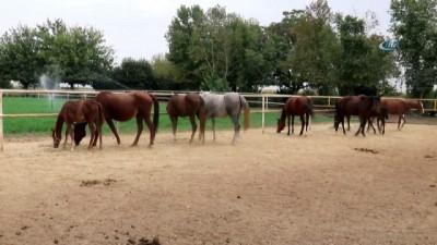 'Batı Nil' virüsünden bir yarış atının daha öldüğü iddia edildi