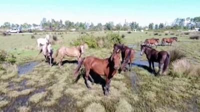 Drone gören yılkı atlarının şaşkınlığı kamerada