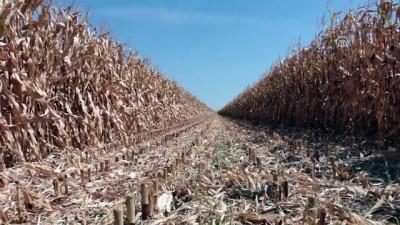 Konya Ovası'nda çiftçinin yeni gözdesi mısır - KONYA